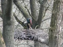 Visszatértek a Pilisbe a fekete gólyák